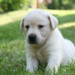 Golden Lab Puppy