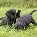 Black Labrador Retriever Puppies Playing