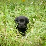 Black Labrador Puppy Outside