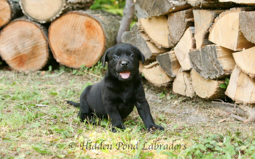 Black Lab Puppy at Hidden Pond Labradors