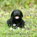 Black Labrador Bred by Hidden Pond Labradors