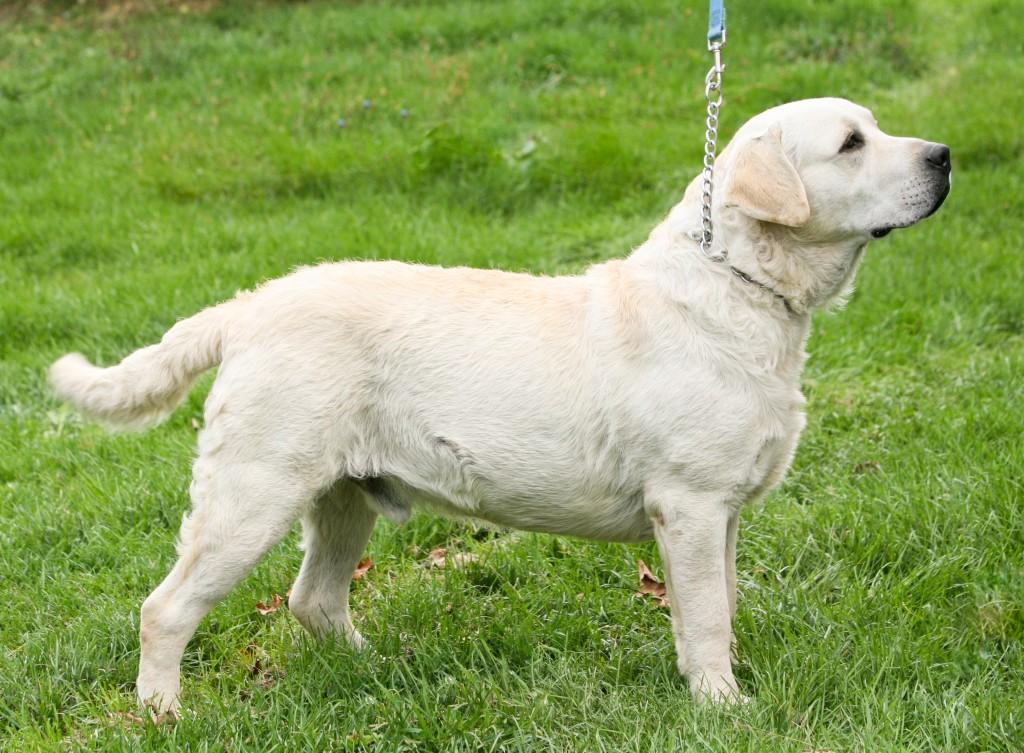 Yellow Labrador Stud Dog