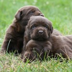 Chocolate Labs Snuggling Outside