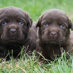 2 Chocolate Lab puppies at Hidden Pond Labradors