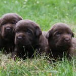 3 Chocolate Lab Puppies