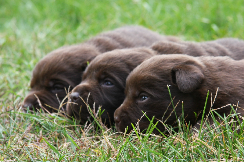 Chocolate Lab Retriever Pups