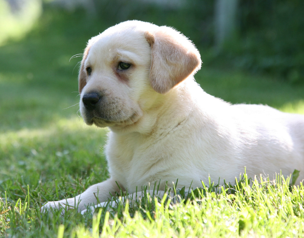 Hidden Pond's Happy Yellow Labrador Retriever Puppy