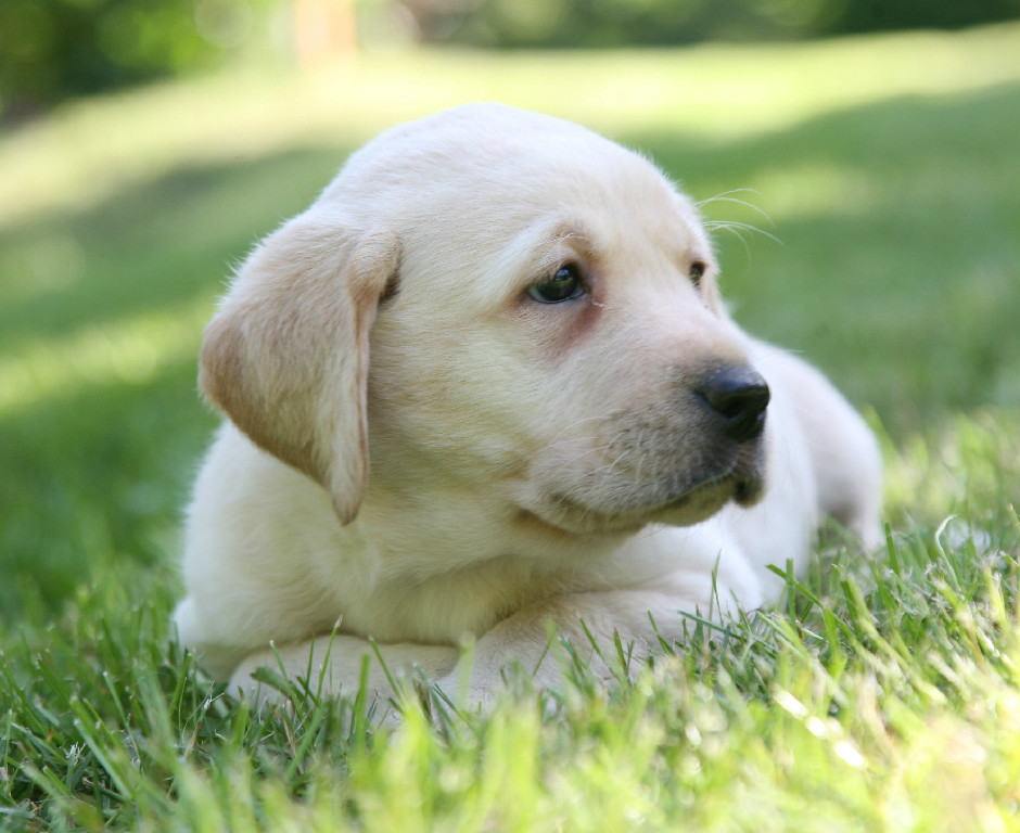 Golden lab puppy at Hidden Pond Labradors