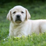 Healthy Yellow Labrador Retriever Puppy from Hidden Pond Labradors