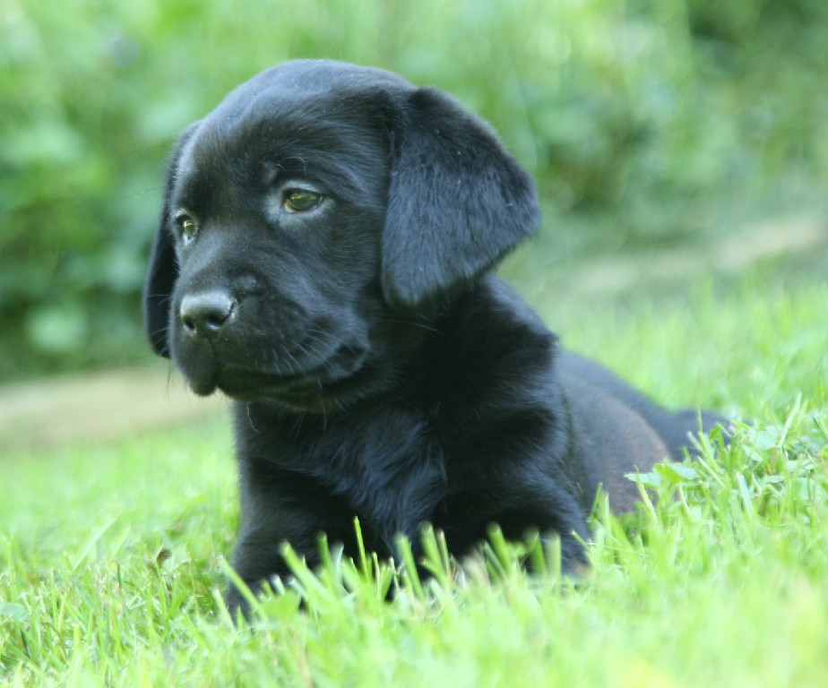 Black Lab Puppy laying in the grass at Hidden Pond Labradors