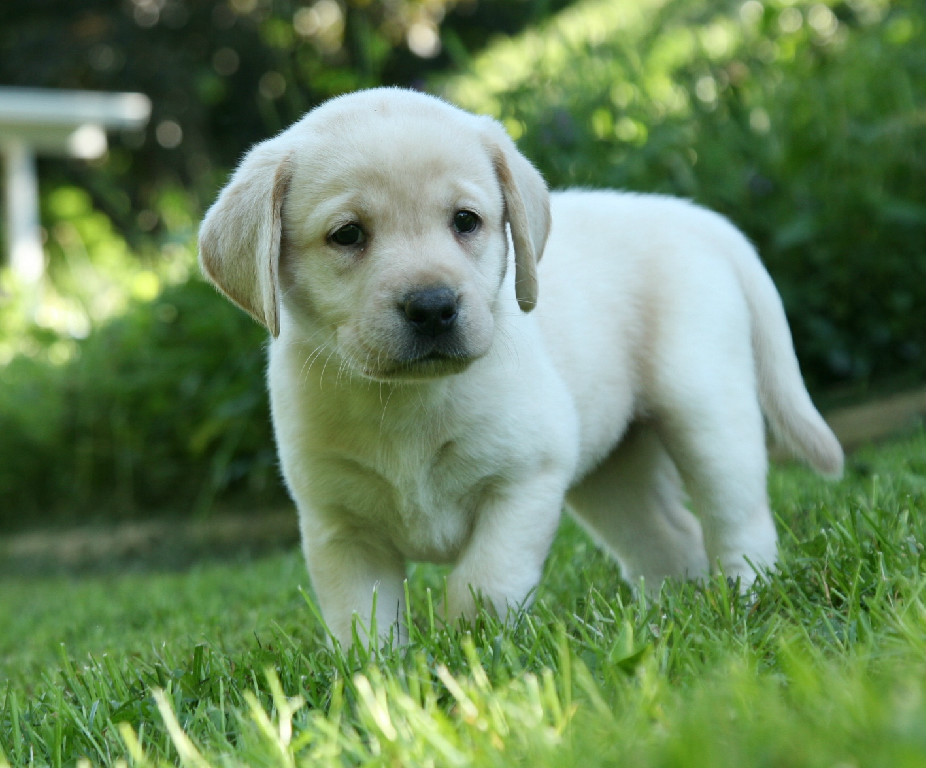 Yellow, Chocolate, & Black Labrador Retriever Puppies for Sale