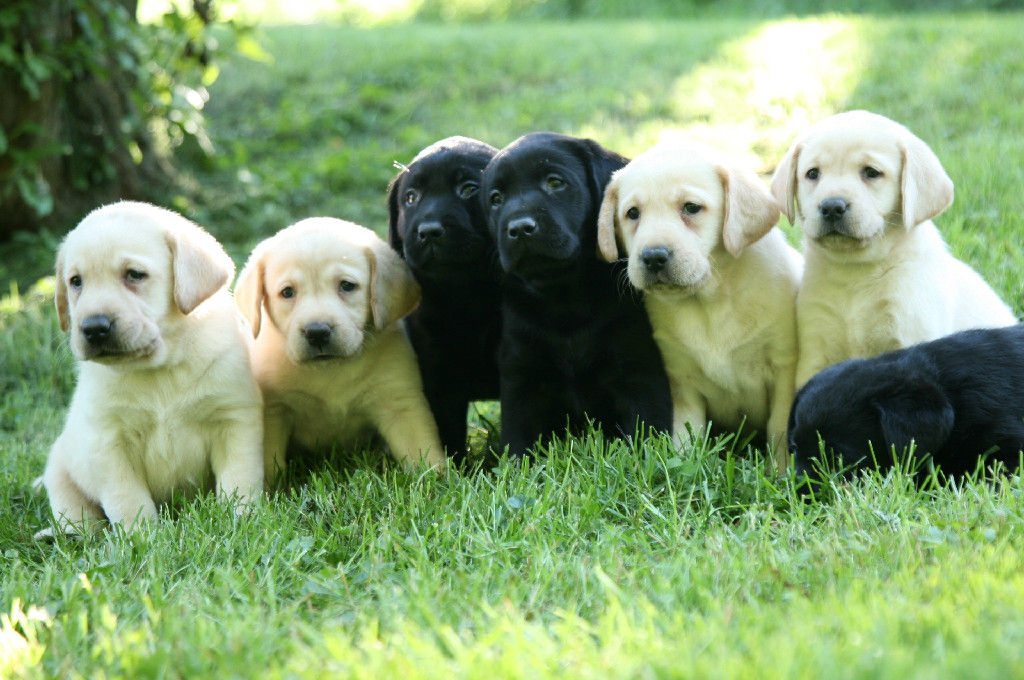 Lab puppies at Hidden Pond Labradors