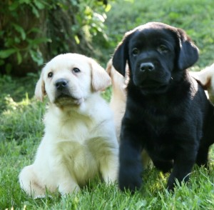 Healthy Yellow and Chocolate Labrador Retriever Puppies from Hidden Pond Labradors