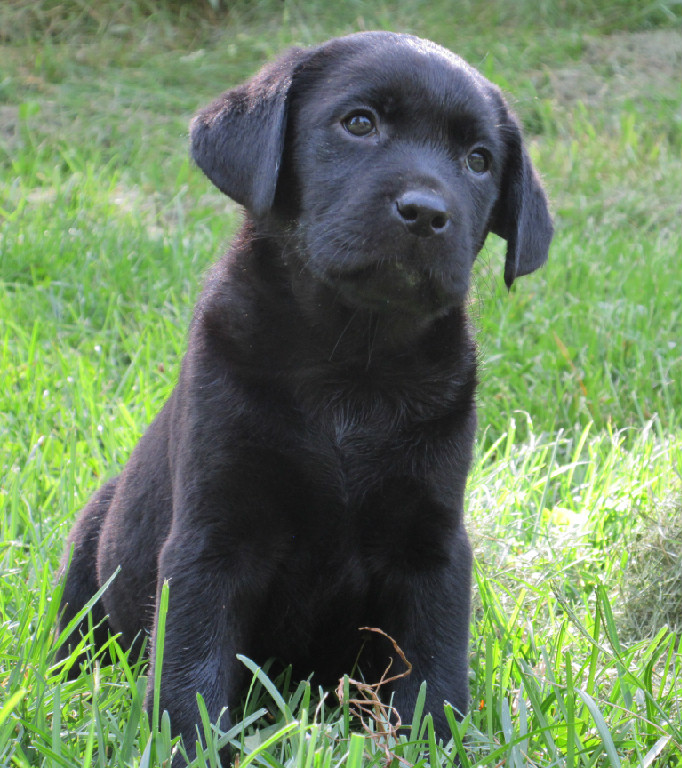 Black Labrador Retriever Puppies For Sale Hidden Pond