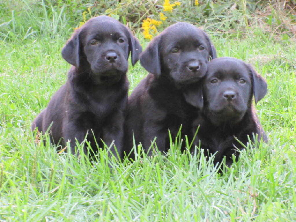 3 Black Lab puppies laying in the grass at Hidden Pond Labradors