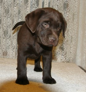 Healthy Chocolate Lab Bred By Hidden Pond Labradors