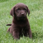 Chocolate lab puppy sitting at Hidden Pond Labradors