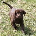 Playful chocolate lab puppy at Hidden Pond Labradors