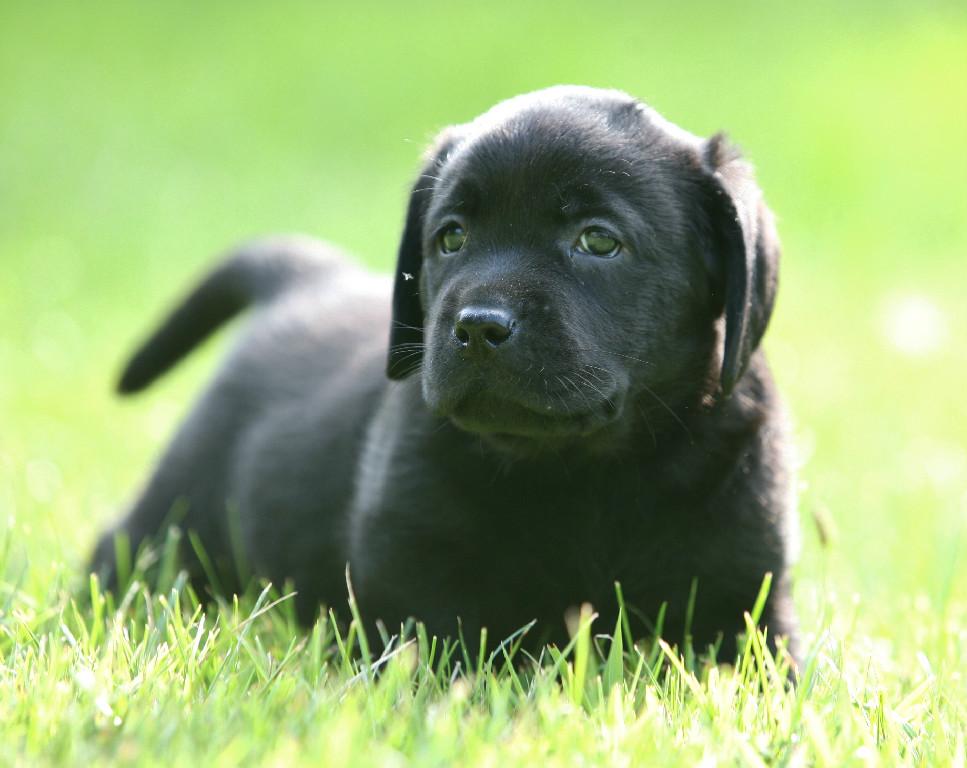 Black Labrador Retriever Breeder in North Dakota USA