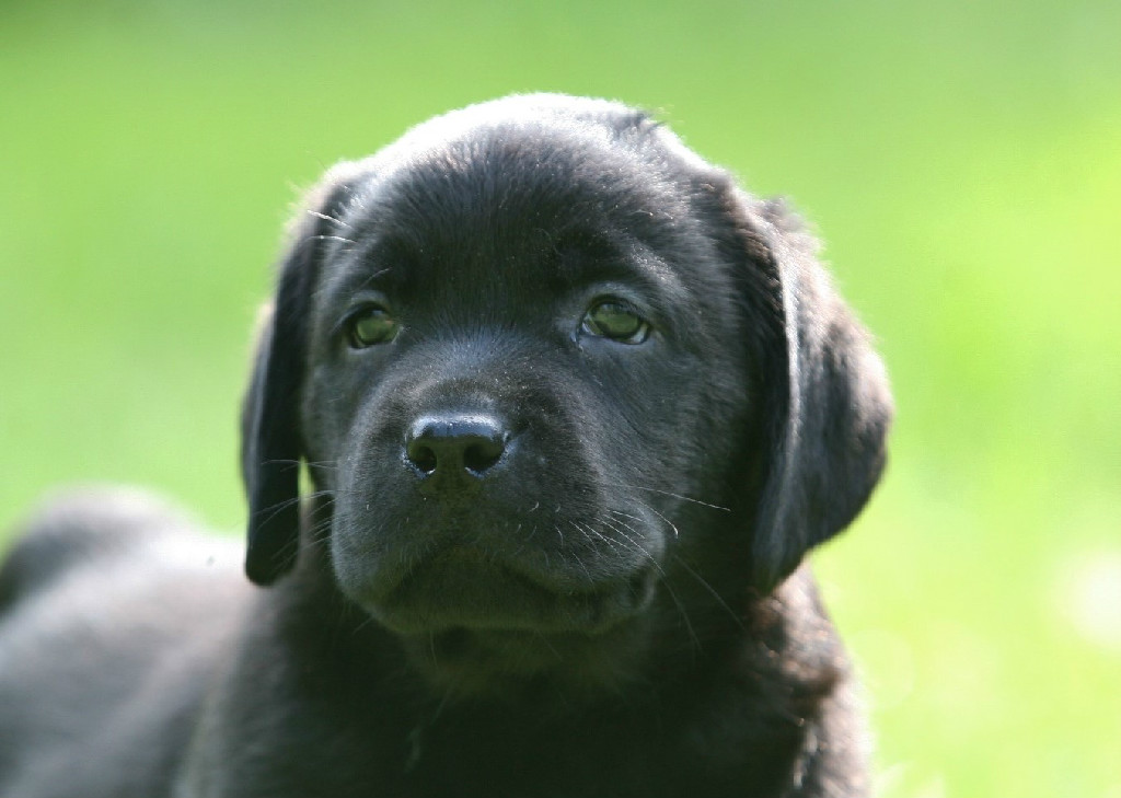 Black Lab Service Dog
