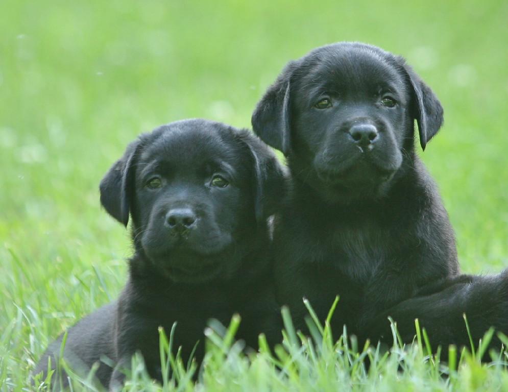 2 black lab puppies at Hidden Pond Labradors