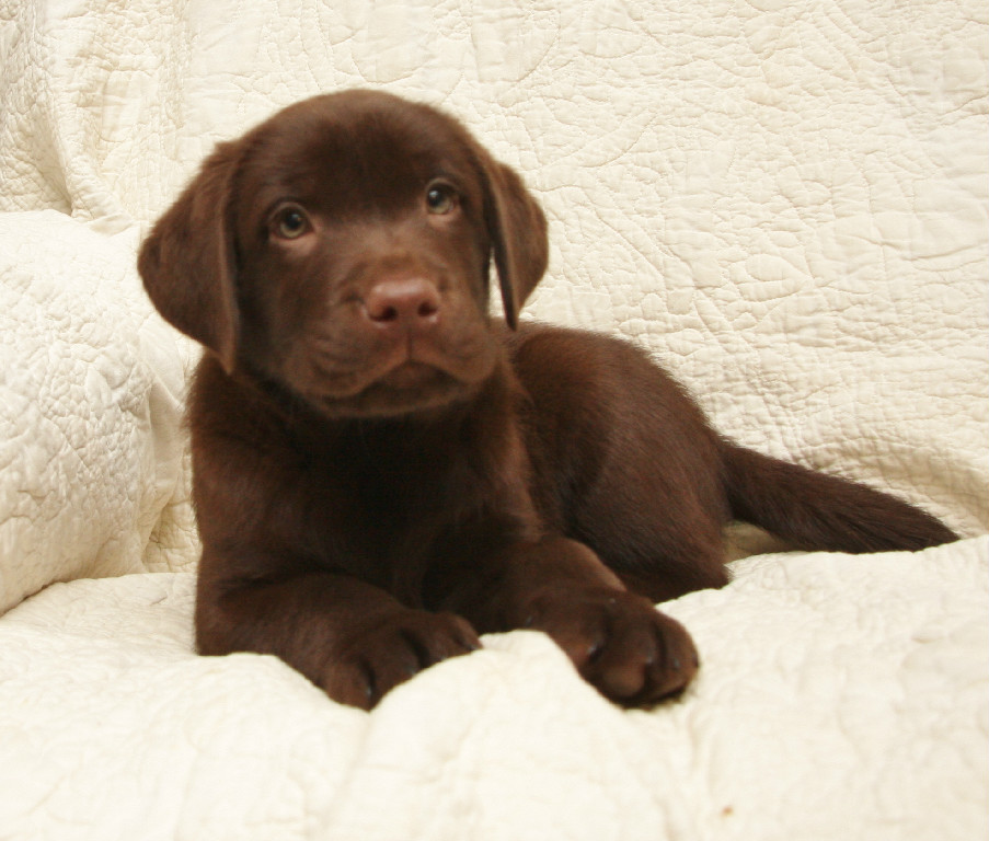 Chocolate Lab puppy laying at Hidden Pond Labradors