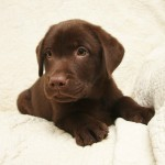 Chocolate Lab Puppy at Hidden Pond Labradors