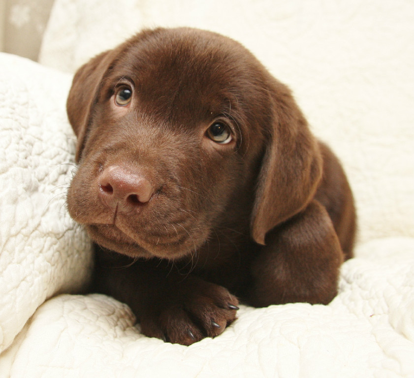 Yellow Chocolate Black Labrador Retriever Puppies For Sale