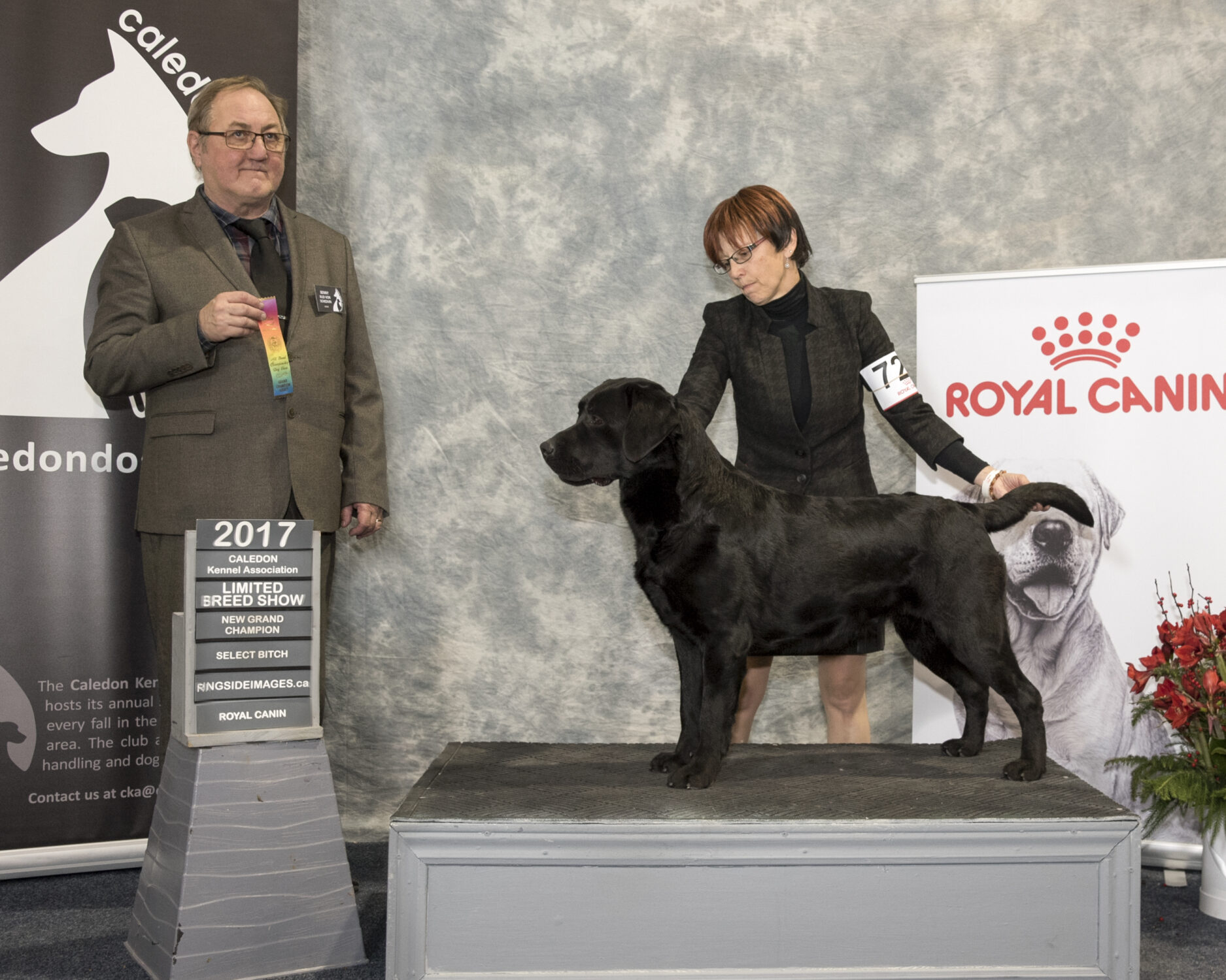 Grand Champion Labrador Bitch
