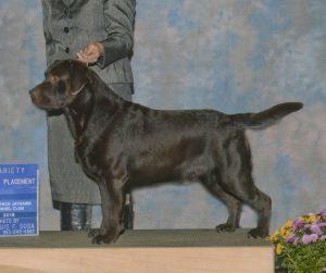 Certified Pedigree Labrador Stud Service