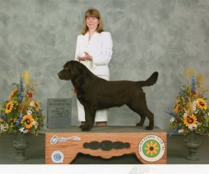 Chocolate Labrador Stud with Breeder