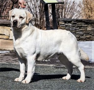 Yellow Labrador Stud