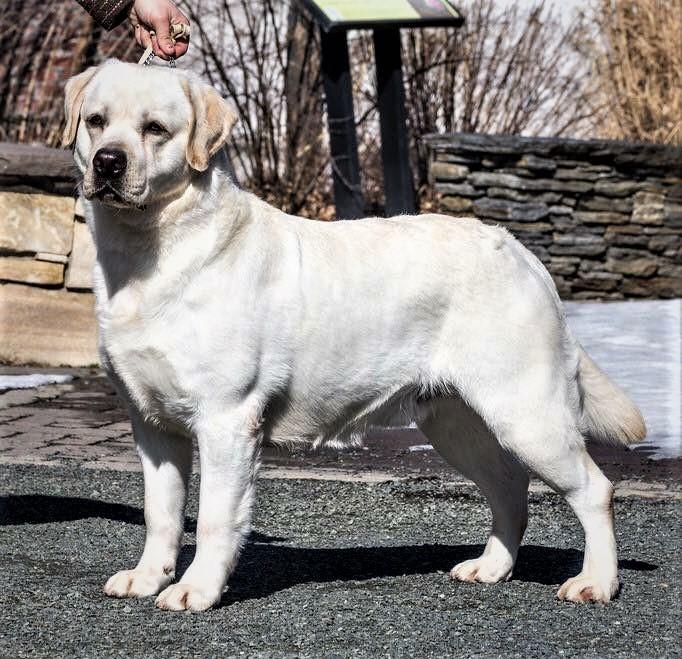 Yellow Labrador Stud