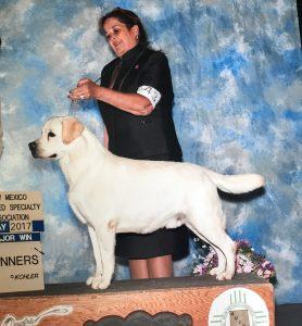 White Certified Pedigree Labrador Stud Service