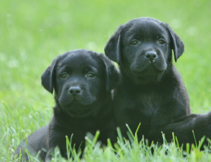 Two well-bred black Labrador puppies