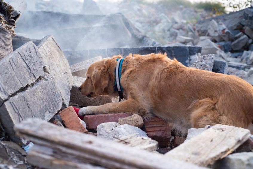 Search and rescue labrador