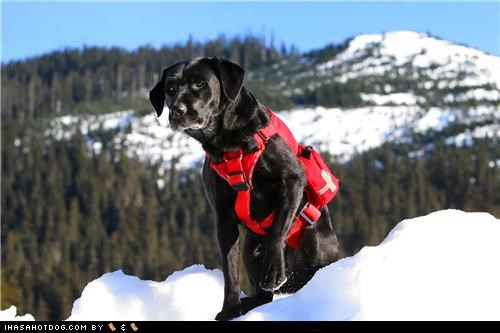 Search and rescue Black Labrador