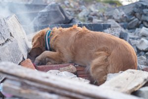 Search and Rescue Dog searching under debris