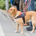 Service Dogs Aren't Just Companions, They're Life-Savers