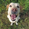 Keep Your Labrador Happy!