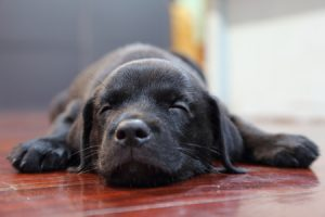 Labrador puppy sleeping on the floor