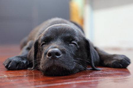 How a Labrador Retriever Can Change Your Life