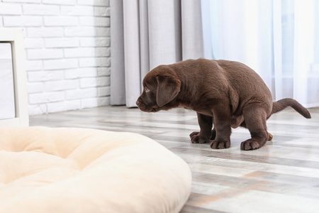 Why is my Labrador Retriever Having Accidents in the House?