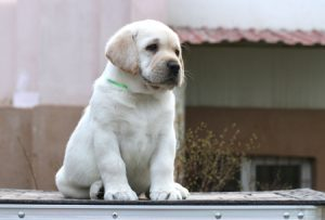Labrador puppy sitting outside