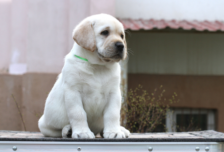 Tips for Training Labrador Puppies