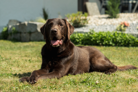 Labrador Retriever sitting on grass