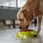 Labrador eating food