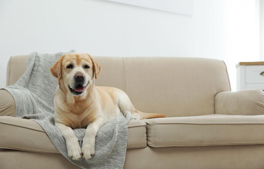 Labrador watch dog on sofa