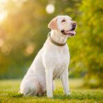 Labrador enjoying open backyard