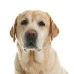 Labrador Retriever sitting